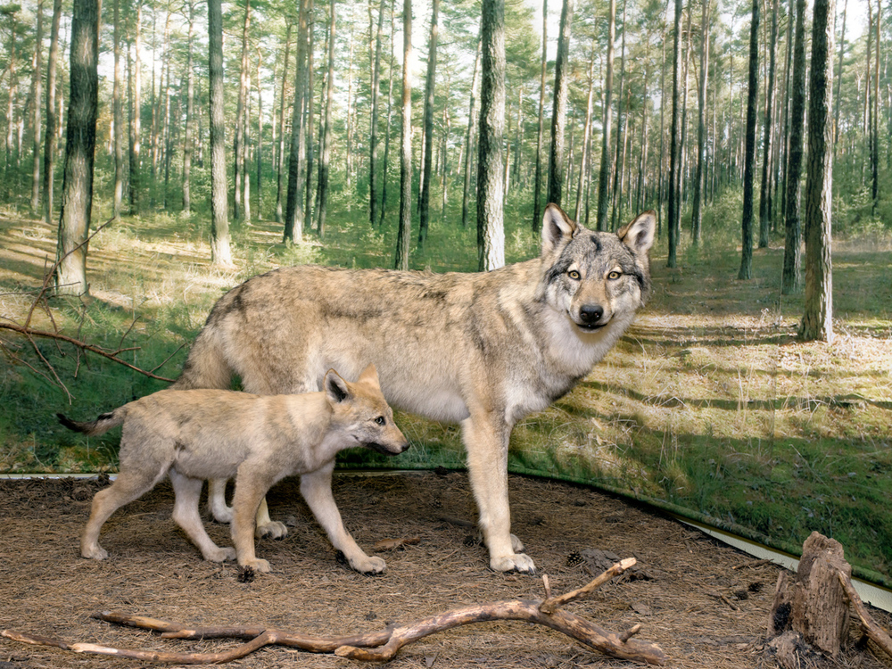 Wolves  Wolves were considered extinct in Germany for almost one hundred years, but in 1998, wolf tracks were noticed again for the first time in Lusatia. Today, tourists can go on guided wolf walks and visit a wolves' museum.