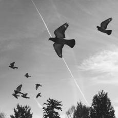 pigeons, NE Portland