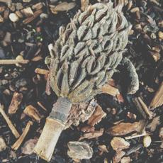 magnolia cone