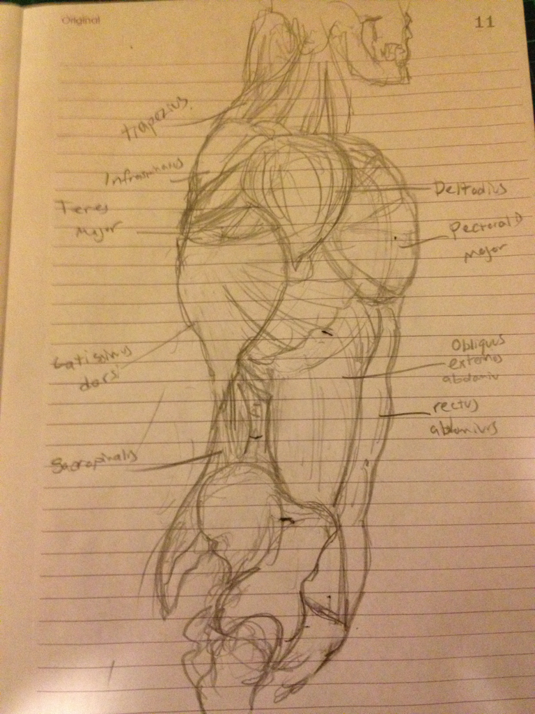 Side muscles