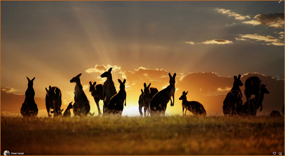https://500px.com/photo/149432437/cutest-kangaroo-family-sunset-by-omar-ismail