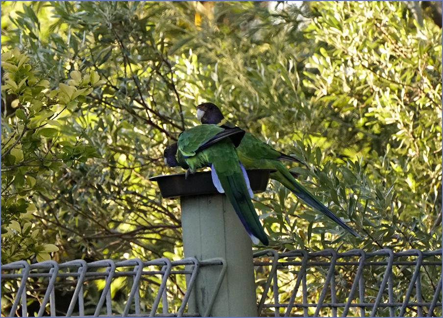 The parrots.