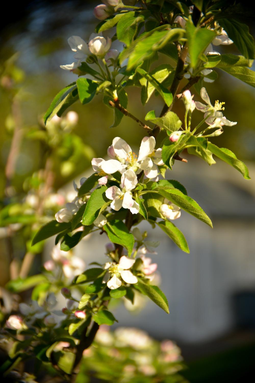 Gala Apple Blossoms