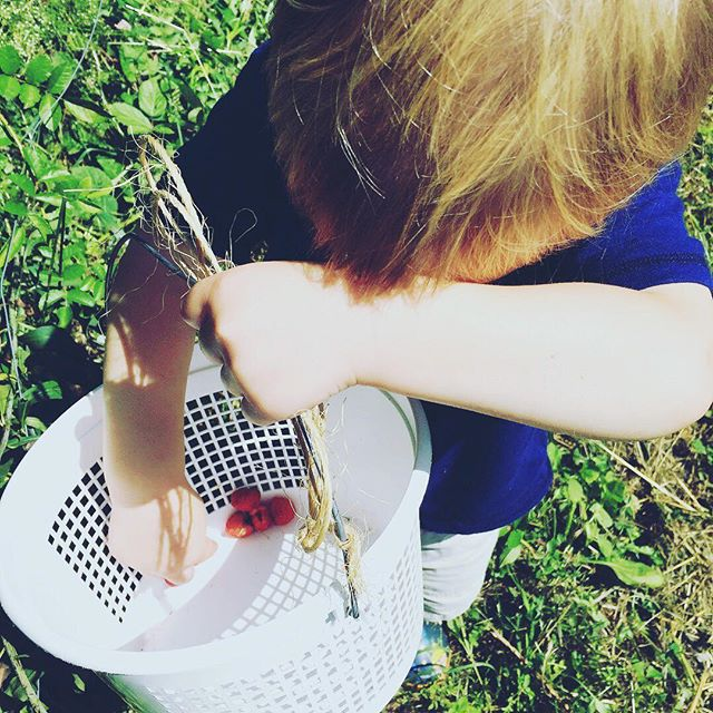 Our picking buckets are empty! We will not be open for pick-your-own this Saturday. Our raspberry field is quickly winding down production for the year. Thank you for a great season!  REMEMBER: We still have jam and frozen berries available! Contact us to place and order and coordinate pick-up. #roanhighlandsfarm #organicraspberries #familyfarming