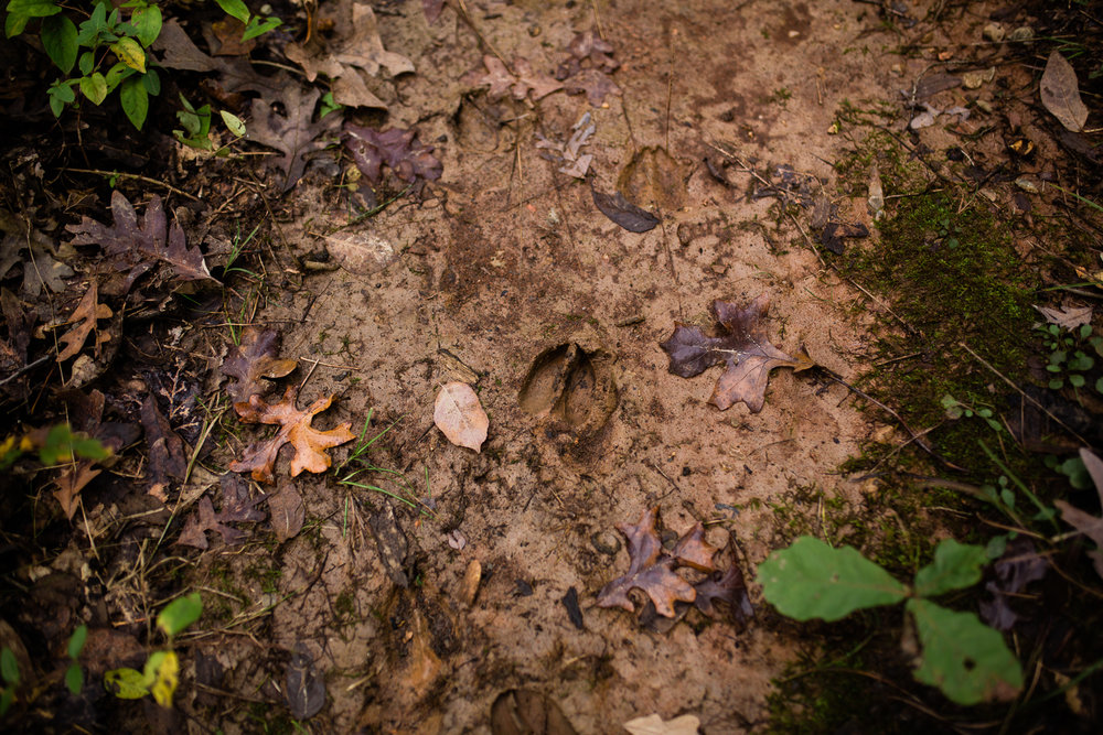 Deer tracks in the muddy ground, autum walk in the woods at Lakeside Nature Center, Kansas City photographer
