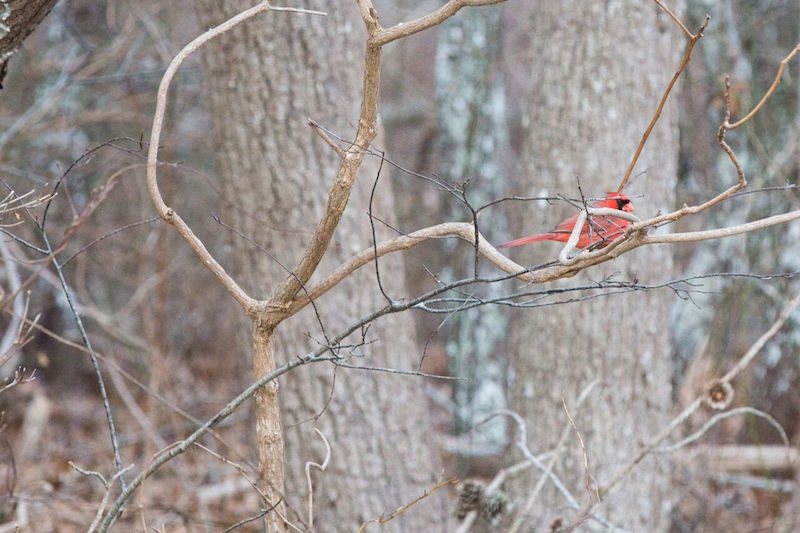 Christmas Bird Count Tallies Species - Story in the Vineyard Gazette