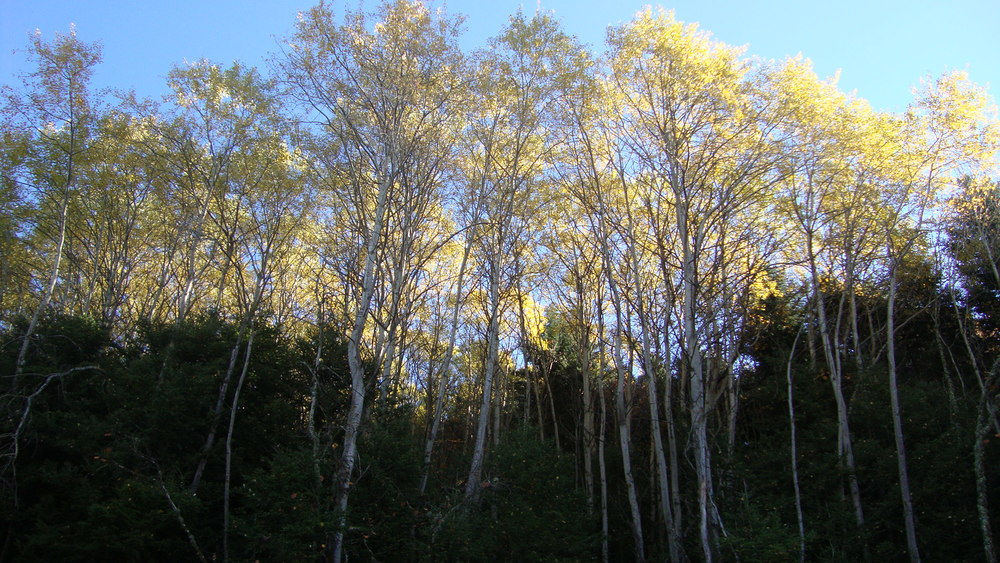 trees fall.jpg