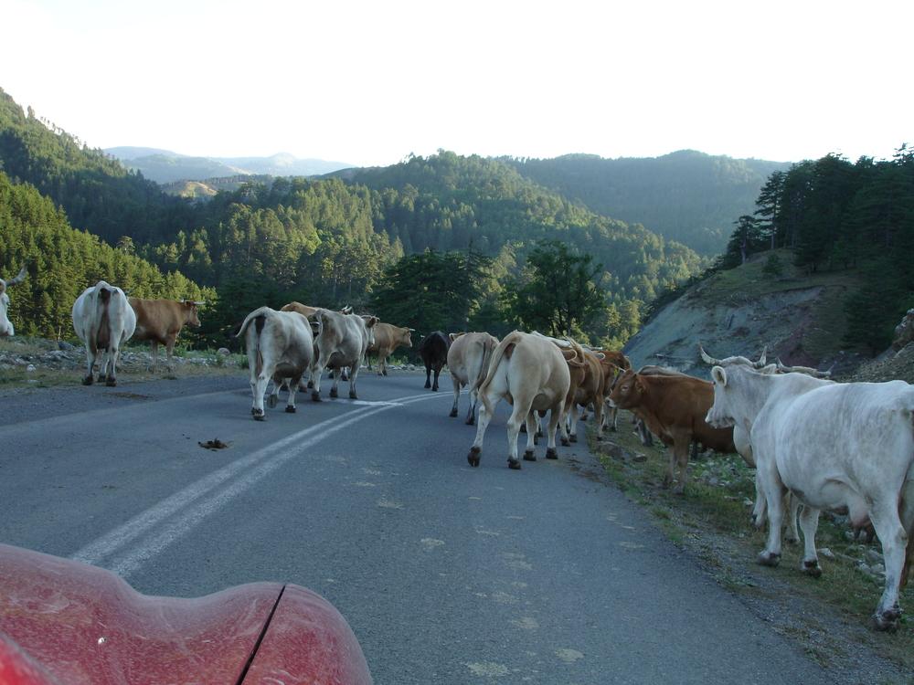 road_cows.jpg