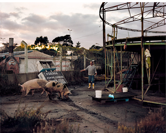 Feeding pigs  archival pigment print