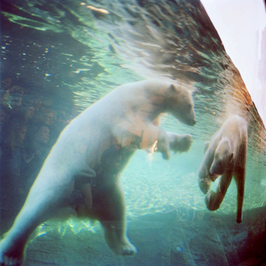 Polar Bears with Audience, 2009