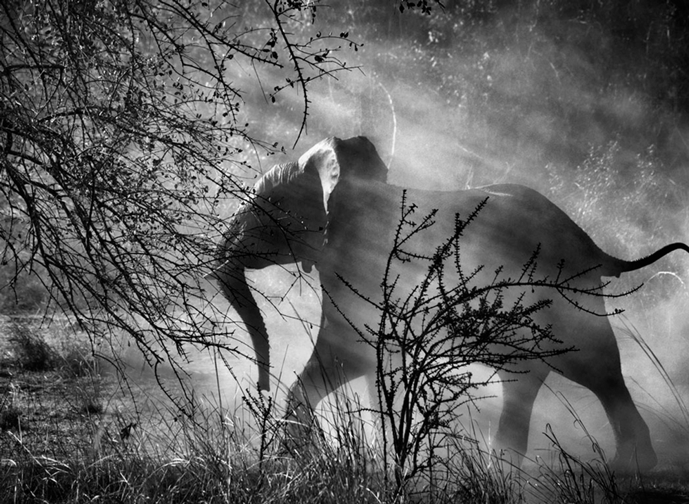 Elephant (Against light), Kafue National Park, Zambia, 2010   24 x 35 inches  Gelatin silver print