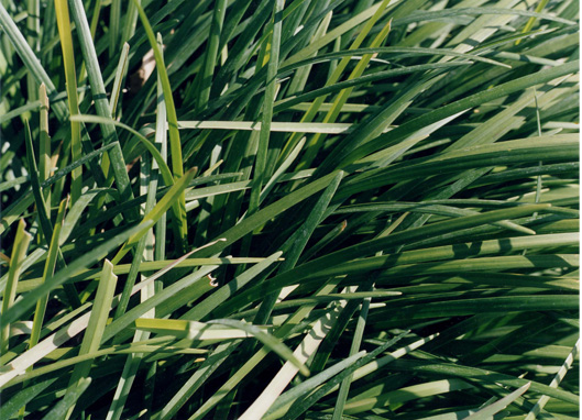 Untitled, 2002   (grass 5)  20 x 24 inches  from the series Elemental Chromogenic color print edition 6