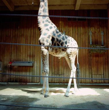 Giraffe, 2000  19 x 19 inches Archival pigment print