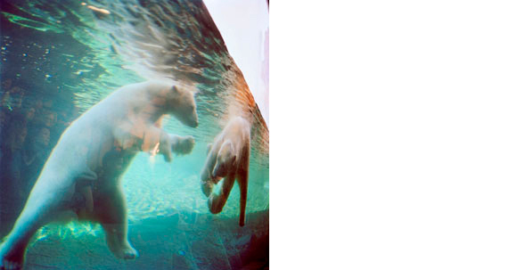 COLLEEN PLUMB  Polar Bears   19 x 19 inches  Archival Pigment print