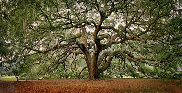 KYLE FORD  The Majestic Oak   42 x 82 inches  Archival Pigment print on rag paper
