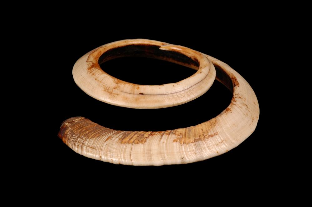 15. VANUATU. Bracelet en dent de cochon. XXe siècle