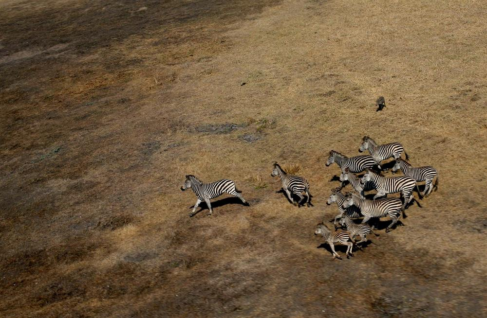 A zeal of zebras and one lone warthog.