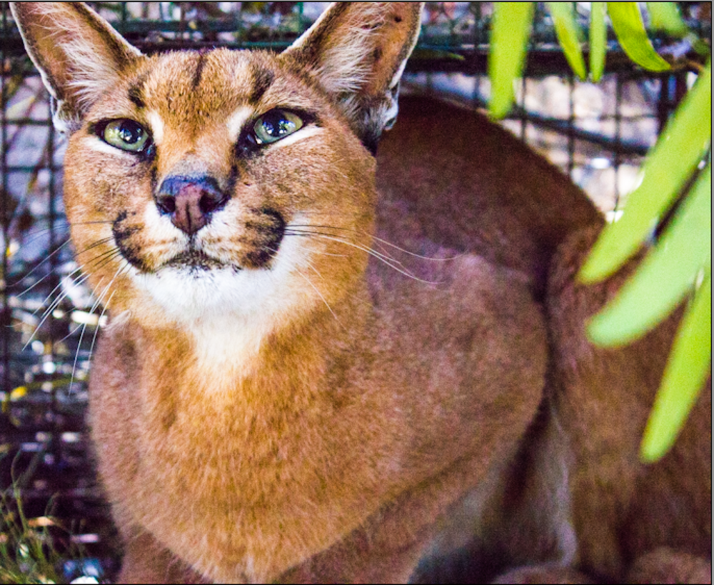 Fire Lily (aka, TMC#03) just after capture, awaiting darting so that she could be fitted with a radio-collar as part of the Urban Caracal Project.