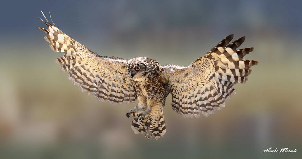 Spotted Eagle Owl © Andre Marais