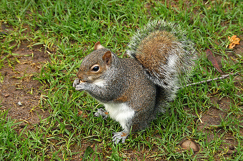 Sciurus carolinensis. Photo by Alex Bond-Smith