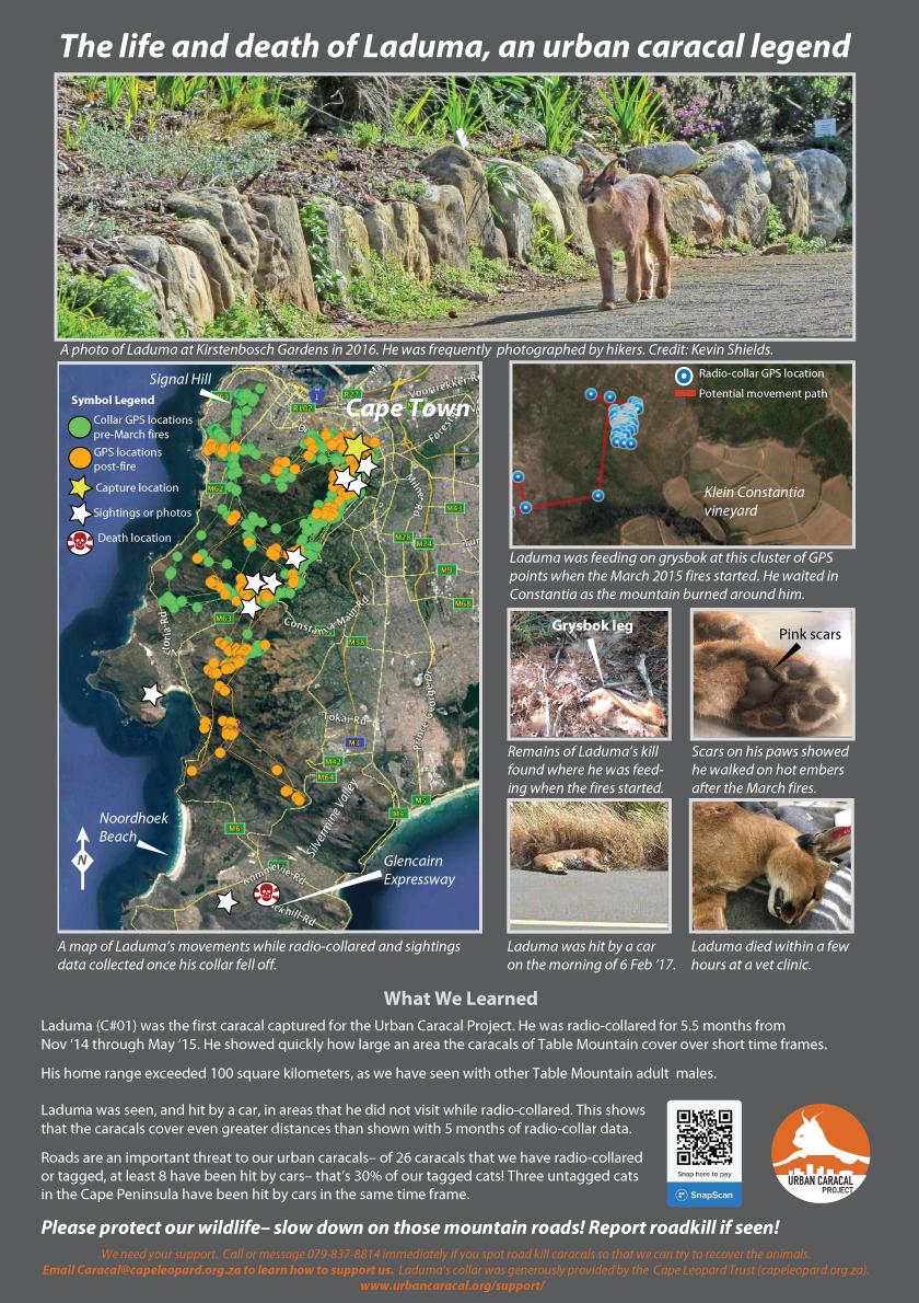 The life and death of Laduma, an urban caracal legend -