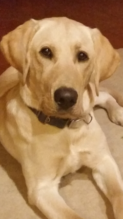 - Mary's second dog, Indy,(4/26/16) , a yellow Labrador Retriever out of 3 Cedars Kennel in Pennsylvania,  is in training for Human Remains Detection and Area search. He loves to swim and is turning into a big boy.
