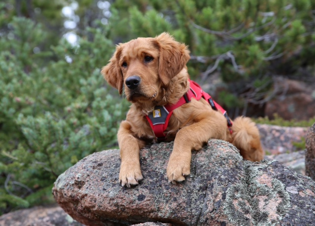 Brody was born in 2018 and is in training for human remains detection and trailing. -