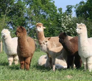 Some of the alpacas in my herd who happily donate their fleeces to fill whimsical bears and to create needle sculptures.