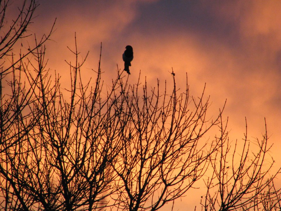 MAGPIE AT DUSK | PHOTO CREDIT: M. BONNEAU