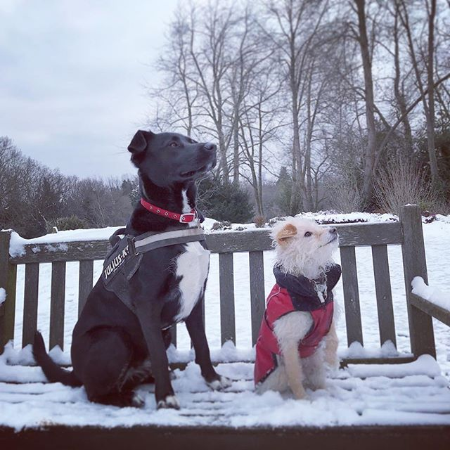 Freddie and Honey #snow #dogs