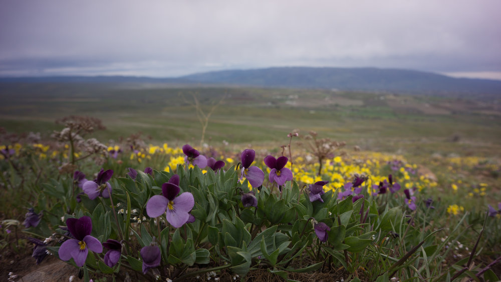 Sagebrush violet and gold star at the Cowiche Canyon Conservancy.