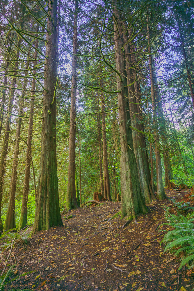 Grove of cedars