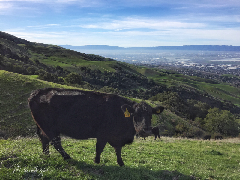 A bright day, and unexpected hiking companion, at Mission Peak