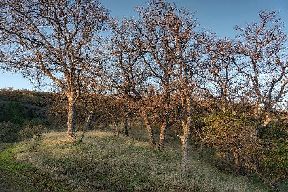 Morning oaks
