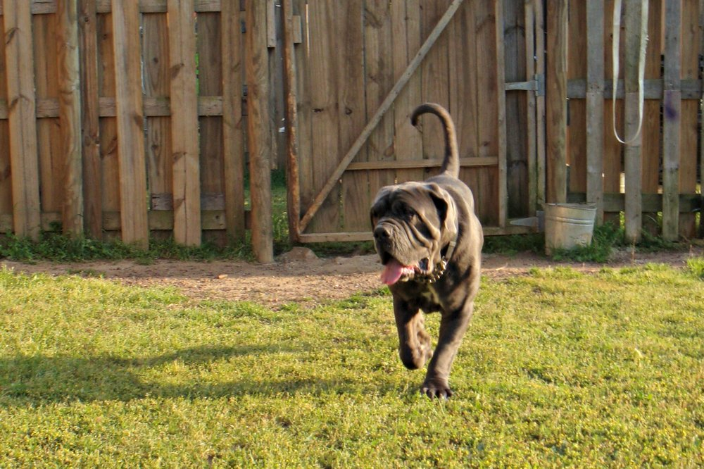 Hugo is an amazing 1 year old Neapolitan Mastiff boy.