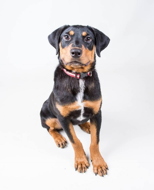 Mason is a magnificent Rottie puppy that found a great family near Atlanta!