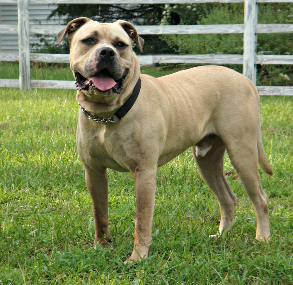 Buster is a beautiful Bullmastiff-American Bulldog mix.