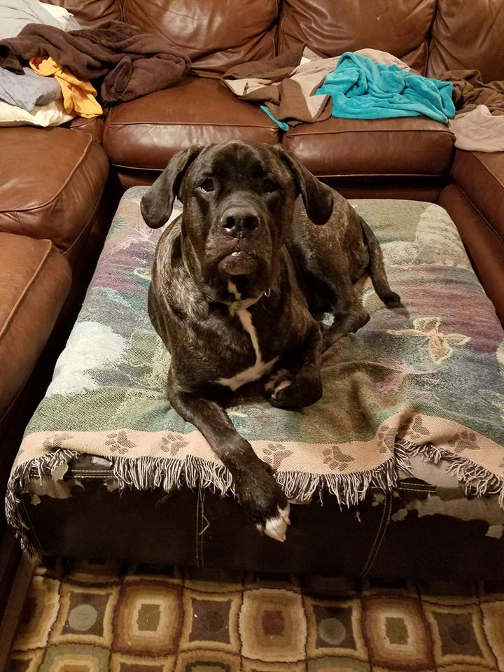 Lexie is a brilliant, brindle girl who found her forever in Dallas, TX!
