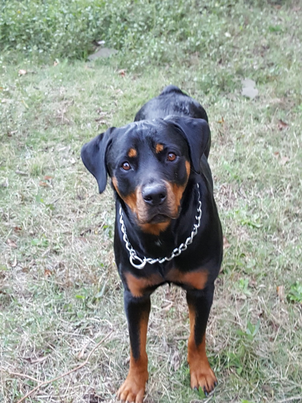 Stormy is a striking 1.5 year old Rottweiler girl.