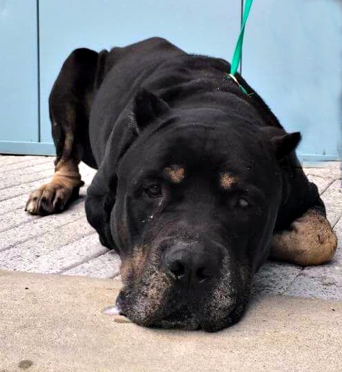 Buck is a wonderful Cane Corso boy that needs a family to love.