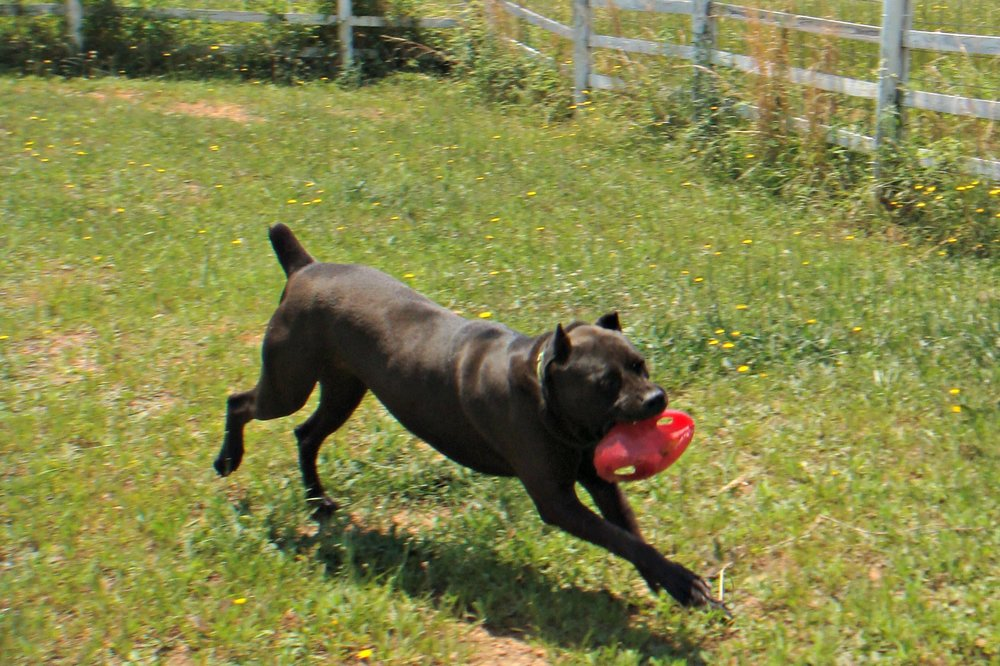 Winston is a 3 year old Cane Corso boy who loves to play with toys!