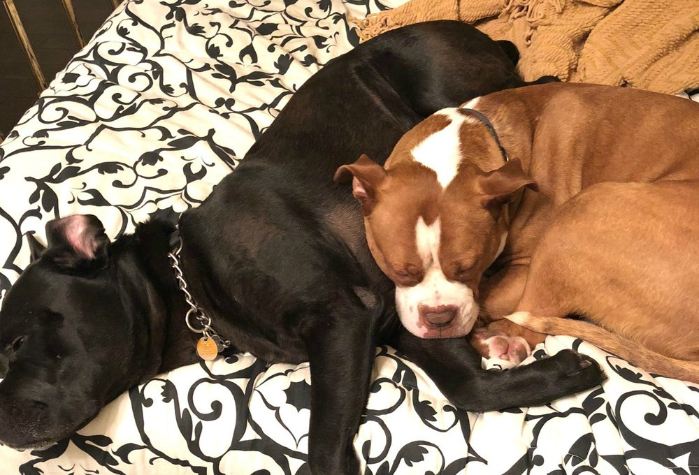 Rocky is an adorable brown and white Bulldog boy that loves to nap with his foster brother.
