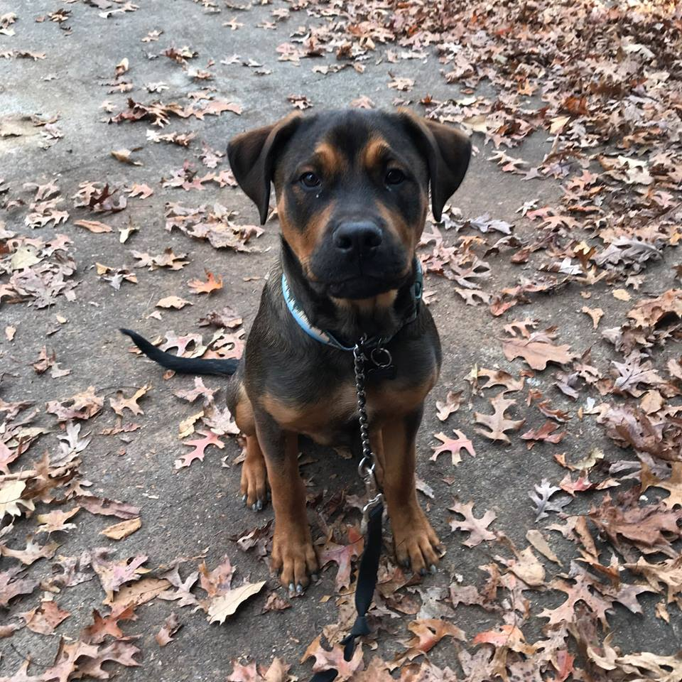 Rocco is a darling 8 month old Rottweiler-English Mastiff mix.