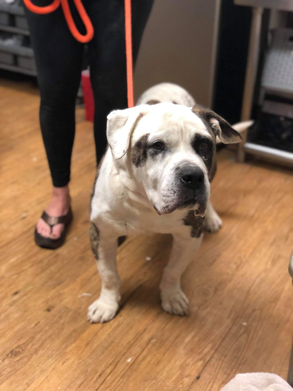 Rumble is an easy-going Bulldog boy currently being fostered in Louisiana.