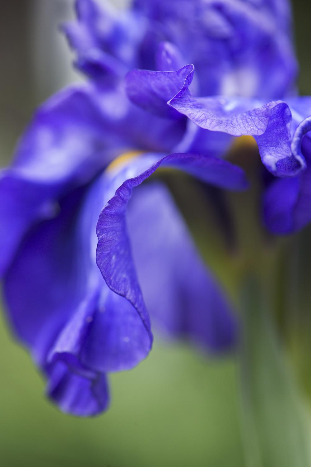 Iris cristada (Dwarf Crested Iris)