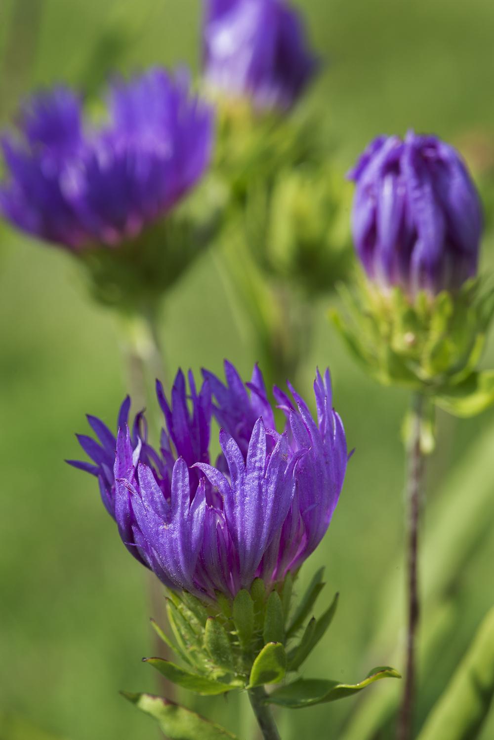 Stokesia laevis 'Purple Parasols' (Stokes' Aster)