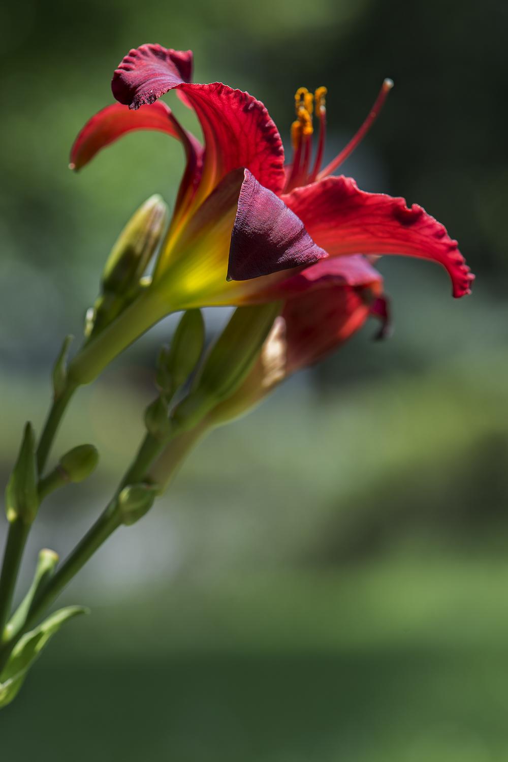 Hemerocallis 'Pardon Me' (Daylily)