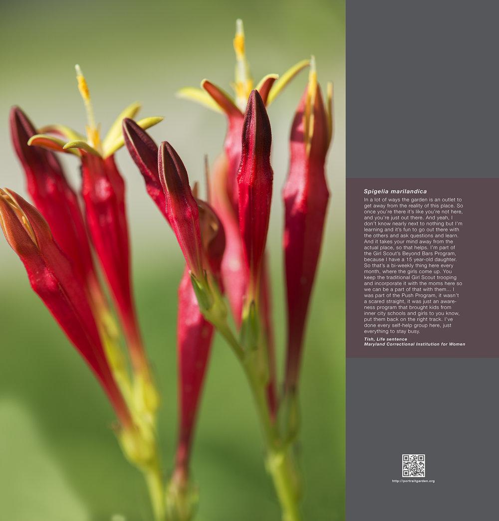Portrait Garden (Spigelia marilandica)