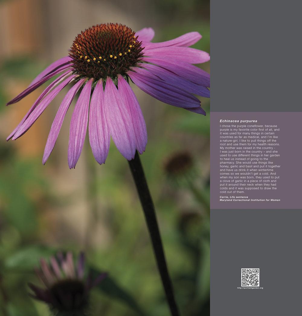 Carrie (Echinacea purpurea)