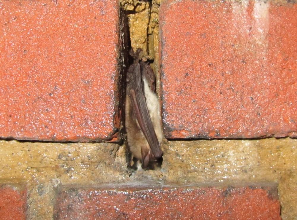 Natterers Bat  Myotis nattereri in Hibernation